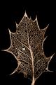 Ilex.aquifolium12.png