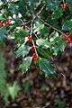 Ilex aquifolium fruits 3.jpg