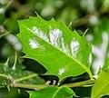 Ilex aquifolium in Aveyron (2).jpg