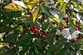 Ilex verticillata x serrata Harvest Red 2zz.jpg