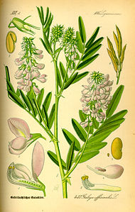 http://upload.wikimedia.org/wikipedia/commons/thumb/c/c5/Illustration_Galega_officinalis0.jpg/190px-Illustration_Galega_officinalis0.jpg