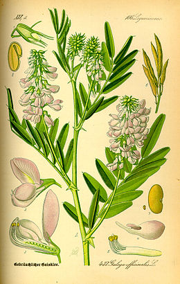 Illustration Galega officinalis0.jpg