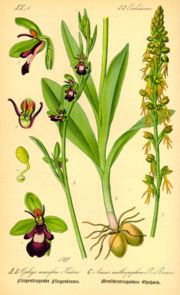 Illustration Ophrys incectifera0