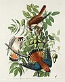Illustration from Birds of America (1827) by John James Audubon, digitally enhanced by rawpixel-com 142.jpg