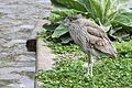 Immature-black-crowned-night-heron.jpg