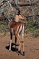 Impala (2890524503).jpg