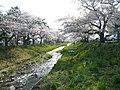 Inawashiro Cherry - panoramio.jpg