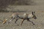 Indian Desert Fox (Vulpes vulpes pusilla) Tal Chappar Rajasthan India 14.02.2013