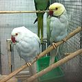 Indian Ringnecked Parrot 2.jpg