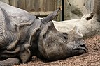Indian rhinoceros in San Diego Zoo.jpg
