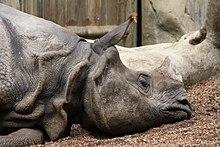 Le Rhinocéros de l' Inde dans RHINOCEROS 220px-Indian_rhinoceros_in_San_Diego_Zoo