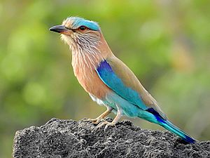 Indian roller - C. b. indicus in Maharashtra, India