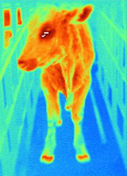 File:Infrared image of a cow with with foot-and-mouth disease.jpg