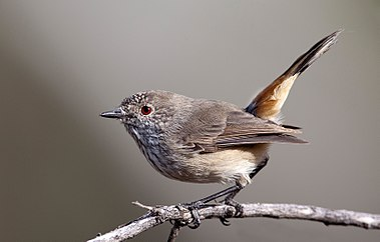 Inland thornbill