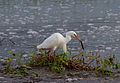Intermediate Egret in breeding plumage - Fogg Dam - Middle Point - Northern Territory - Australia.jpg