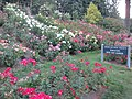 International Rose Test Garden in Portland, Ore. (2013) - 07.JPG