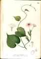 Ipomoea capillacea Blanco2.315-original.png