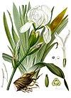 Iris germanica florentina - Köhler–s Medizinal-Pflanzen-078.jpg