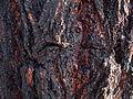 Ironbark bark (3372007667).jpg