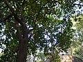 Ixora brachiata (5338167425).jpg