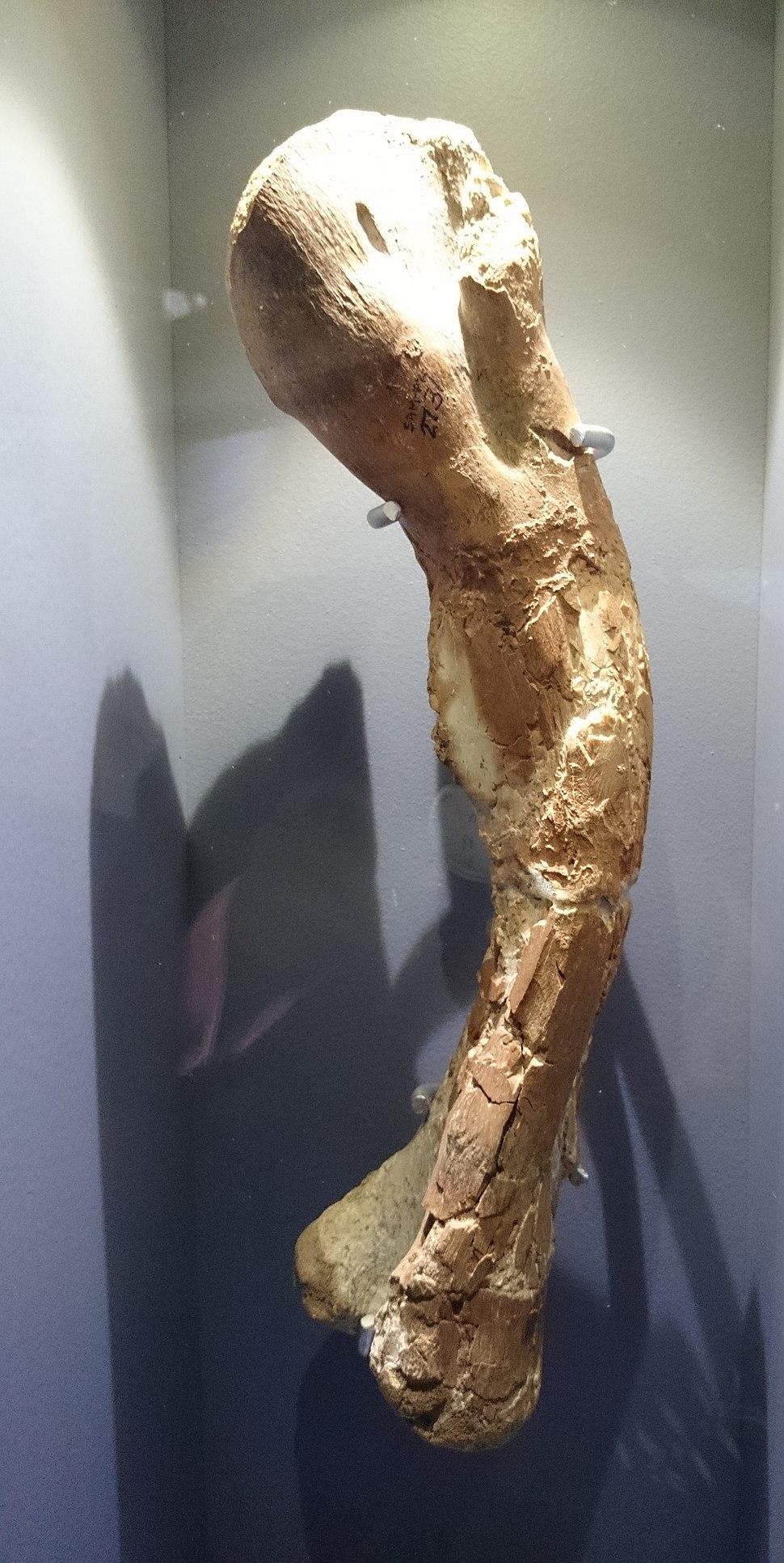 Iziko Thigh bone kangnasaurus