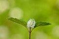 Jaapiella veronicae (Diptera - Cecidomyiidae) gall on Veronica chamaedrys (31085595744).jpg