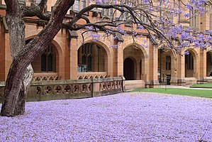 Jacaranda, University of Sydney - The flowers of the jacaranda carpeting the lawn (2015)