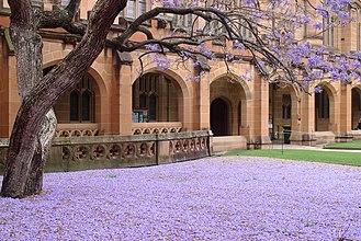 Jacaranda, University of Sydney - The flowers of the jacaranda carpeting the lawn (2015)