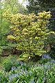Japanese maple - Morris Arboretum - DSC00237.JPG