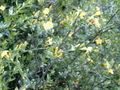 Jasminum fruticans.jpg