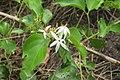 Jasminum malabaricum - Malabar Jasmine at Blathur 2014 (1).jpg
