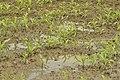 Jeunes pousses gorgées d'eau (30052150231).jpg