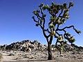 Joshua Tree (11658068986).jpg