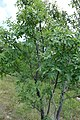 Juglans regia, Juglandaceae 02.jpg