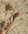 Juncus bufonius inflorescence (26).jpg