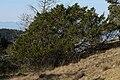 Juniperus maritima 5902.JPG