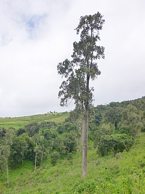 Juniperus procera - Image: Juniperus procera 2