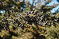 Juniperus scopulorum Santa Fe.jpg