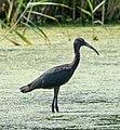 Juvenile glossy ibis at JBWR (30029).jpg
