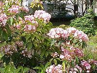 Kalmia latifolia3