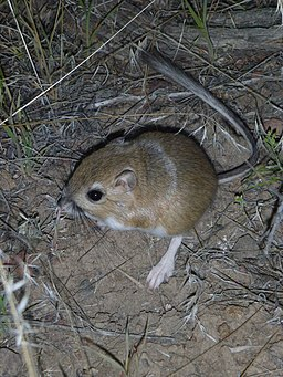 a Kangaroo Mouse on the soil