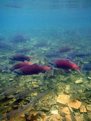 Lake Clark National Park and Preserve - Sockeye salmon in the Kijik River