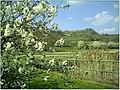 Kirschblüte - panoramio (9).jpg