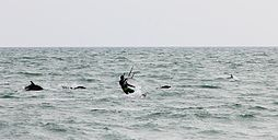 Endangered Black sea common dolphins with a kite-surfer off beach