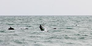 Sochi - Black sea common dolphins with a kite-surfer off Sochi