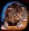 Kitten (8226219764).jpg
