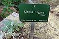 Kleinia fulgens-Jardin des Plantes de Paris (2).jpg