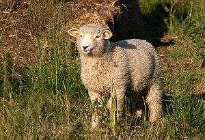 A sheep.