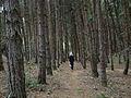 Kodai-Monoculture pine forest.JPG