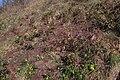 Korina 2015-03-29 Mahonia aquifolium 7.jpg